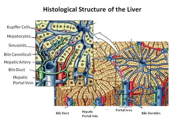 figure 27: the fundamental histological structural unit of the liver is the  liver lobule, a six-sided prism of tissue ~ 2 mm long and ~1 mm in diameter